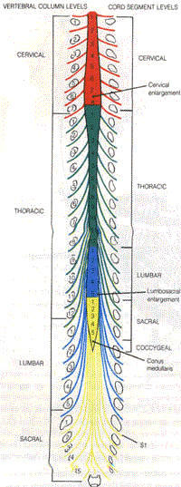 Spinal Cord And Vertebral Levels